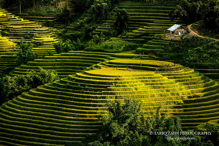 Rice Terraces, Northern Vietnam.