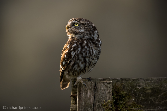 Little Owl Richard Peters