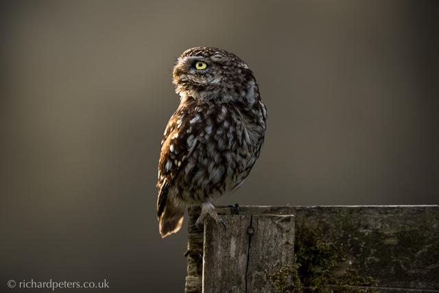 Little Owl Richard Peters